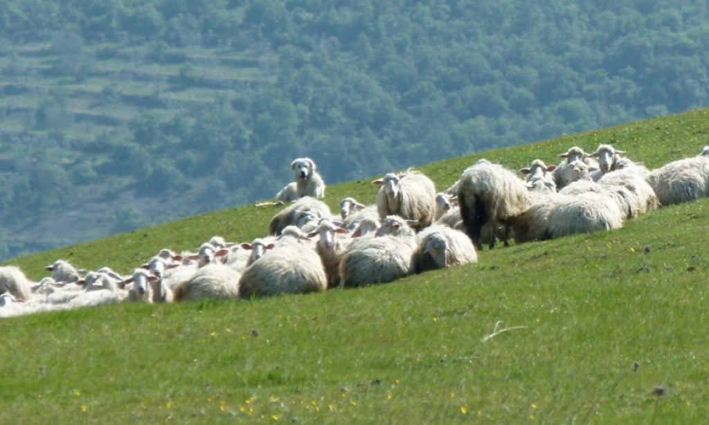 tuscany-italy-maremma-sheep-dog-dog-guarding-his-sheep
