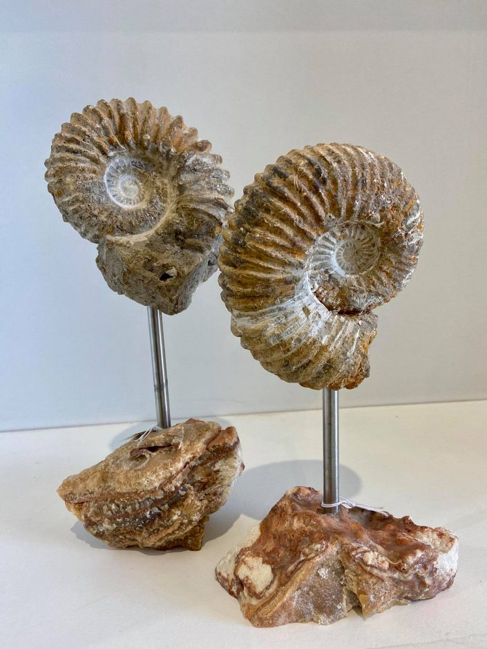 Graz_ammonite fossil on stand (2)